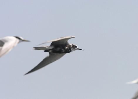 ハシグロクロハラアジサシ: 鳥 ...